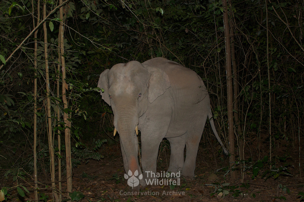 Juvenile wild male asian elephant, Elephas maximus, caught in a camera trap at night in Thap Lan National Park, Thailand.