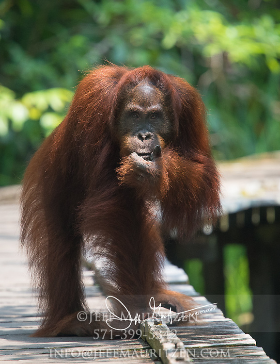 A Bornean orangutann puts its hand to its face on a wooden platform in Tanjung Puting National Park, Indonesia.