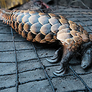 A dead pangolin on 7 September 2016 at Atwemonom, the main bushmeat market in Kumasi, Ghana, before it was singed over an open fire, its scales scraped off with a machete, and its carcass butchered for sale. A hunting ban was in force at the time, rendering the trade of all species other than grasscutters (greater cane rats) illegal between the dates of 1 August and 1 December 2016. According to the International Union for the Conservation of Nature (IUCN), all eight species of pangolin are threatened with extinction.