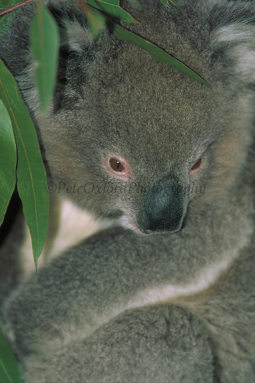 Koala<br />Phascolarctos cinereus<br />Eucalyptus forests of AUSTRALIA