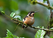 Brown hummingbird with white markings, at the lower elevations (about 1400 meters) of Bellavista Cloud Forest Reserve, near Quito, Ecuador, South America.