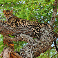 Leopard resting in tree in Tarangire National Park Tanzania.