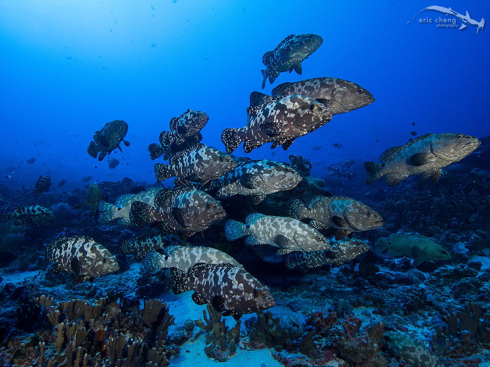 An enormous aggregation of camouflage groupers (also called marbled groupers, Epinephelus polyphekadion) at Fakarava's south pass (Tomakohua), French Polynesia. This was taken about a week before the spawning event, and does not show full density of fish.