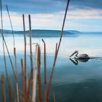 A pelican swimming in a lake