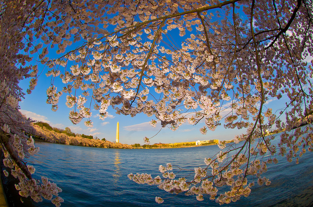 Cherry blossoms, Cherry Tree Walk, Tidal Basin (Washington Monument in background), Washington D.C., U.S.A.