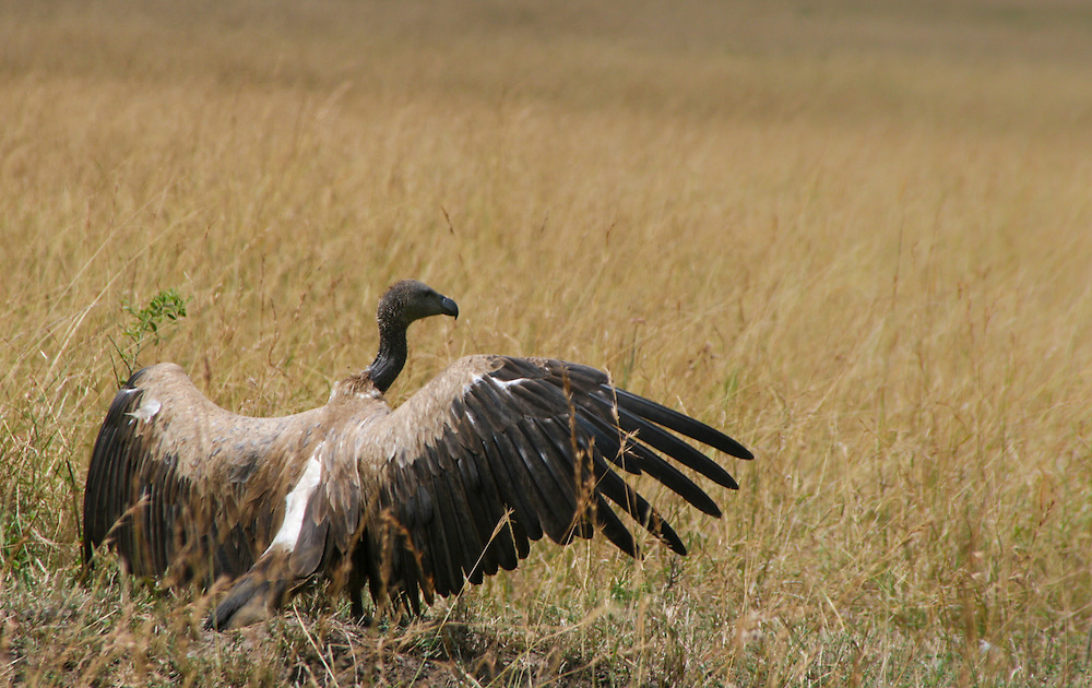 Rüppells vulture protecting his newly found carcass of a wildebeast, Masai mara, Kenya.
