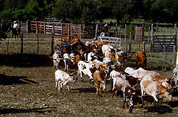 two cowboys guiding a herd of cattle