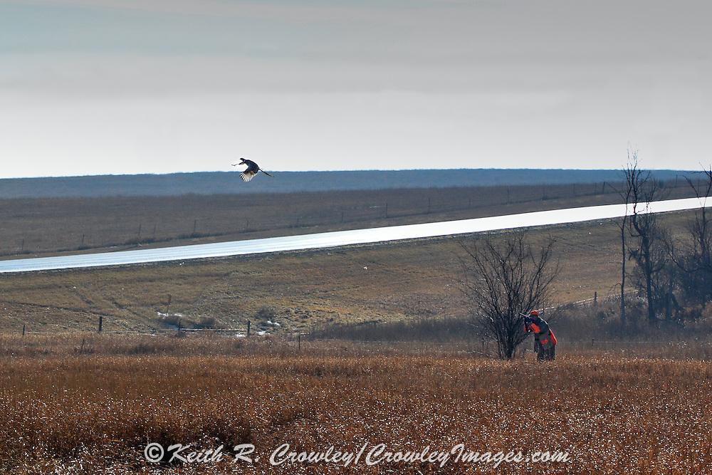 Pheasants Hunting in Eastern South Dakota