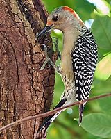Red-bellied Woodpecker in a Carambola tree. Backyard Winter Nature in Florida Image taken with a Fuji X-T2 camera and 100-400 mm OIS telephoto zoom lens (ISO 1000, 400 mm, f/8, 1/30 sec).