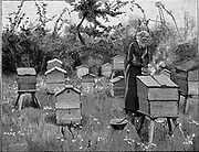 Apiary of wooden hives, Lismore, Ireland.  Woman in protective veil using bellows to puff smoke into hive to render bees less aggressive before opening the hive. Engraving from 'The English Illustrated Magazine', London, 1890