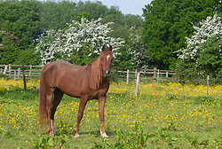 © Licensed to London News Pictures. 23/05/2019.<br /> Downe,UK. A horse grazing in a sunny yellow field of buttercups in Downe village, Kent. Photo credit: Grant Falvey/LNP