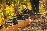 freshly picked Syrah grapes during morning pick at Haymaker Vineyard on Howell Mountain in Napa Valley