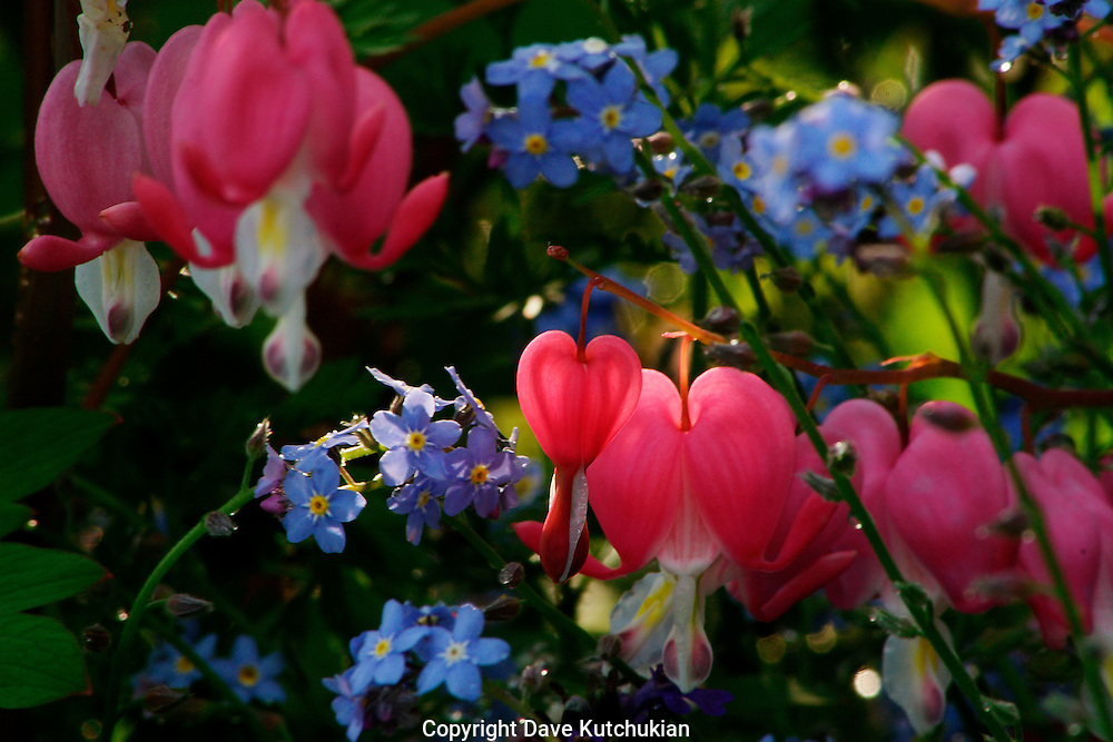 bleeding hearts, once planted, grow unattended by the roadside