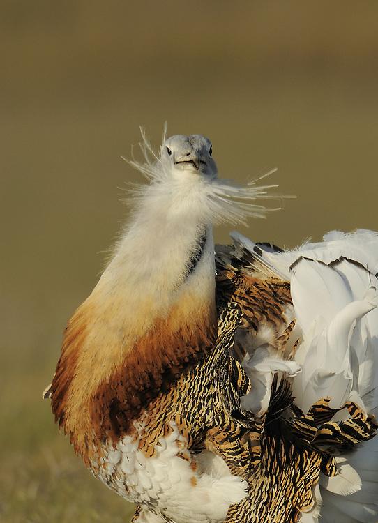 Great bustard, Otis tarda, male displaying  La Serena, Extremadura, Spain