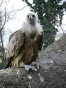 Vulture at the Budapest zoo