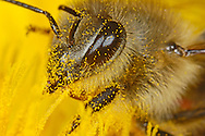 DEU, Deutschland: Biene, Honigbiene (Apis mellifera), mit Pollen bestäubte Biene beim Nektar bzw. Pollen sammeln an einer Löwenzahnblüte, Bienenstation an der Bayerischen Julius-Maximilians-Universität Würzburg | DEU, Germany: Bee, Honey-bee (Apis mellifera), covered with pollen of a dandelion blossom, collecting pollen/feeding on nectar, Beestation at the Bavarian Julius-Maximilians-University Würzburg
