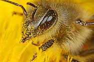DEU, Deutschland: Biene, Honigbiene (Apis mellifera), mit Pollen bestäubte Biene beim Nektar bzw. Pollen sammeln an einer Löwenzahnblüte, Bienenstation an der Bayerischen Julius-Maximilians-Universität Würzburg | DEU, Germany: Bee, Honey-bee (Apis mellifera), covered with pollen of a dandelion blossom, collecting pollen/feeding on nectar, Beestation at the Bavarian Julius-Maximilians-University Würzburg