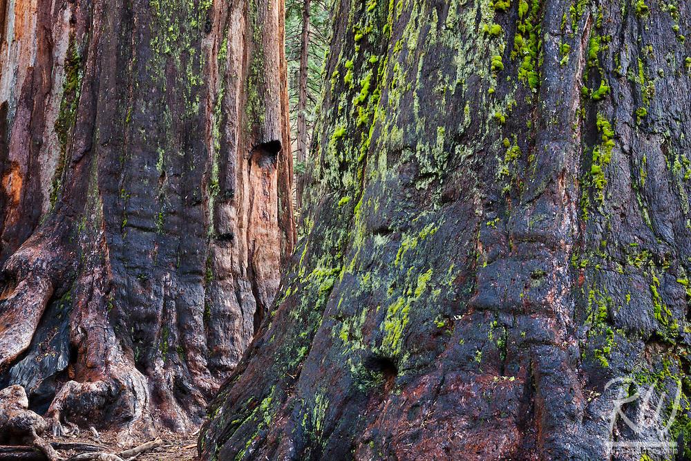 Giant Sequoia Tree Trunks, Calaveras Big Trees State Park, California