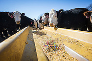 When grain and corn prices rise, cattle producers look for alternative supplements to feed livestock. out dated bread and baked goods often fill that gap but candy is also a source for adding bulk, and energy to cattle feed.