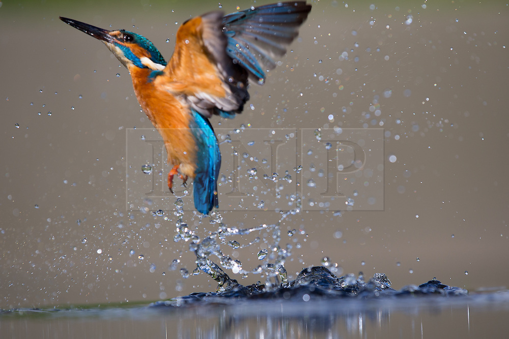 © under license to London News Pictures. Droitwich Spa, UK. A stunning set of images showing the Kingfisher bird in its full glory, shot by photographer Ian Schofiled on a subsidiary to the river Salwarpe near Droitwick Spa in Worcestershire. Photo credit should read IAN SCHOFIELD/LNP