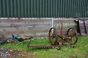 Peacock and old horse-drawn reaper lies on grass at Strathcoil, Isle of Mull, Scotland.