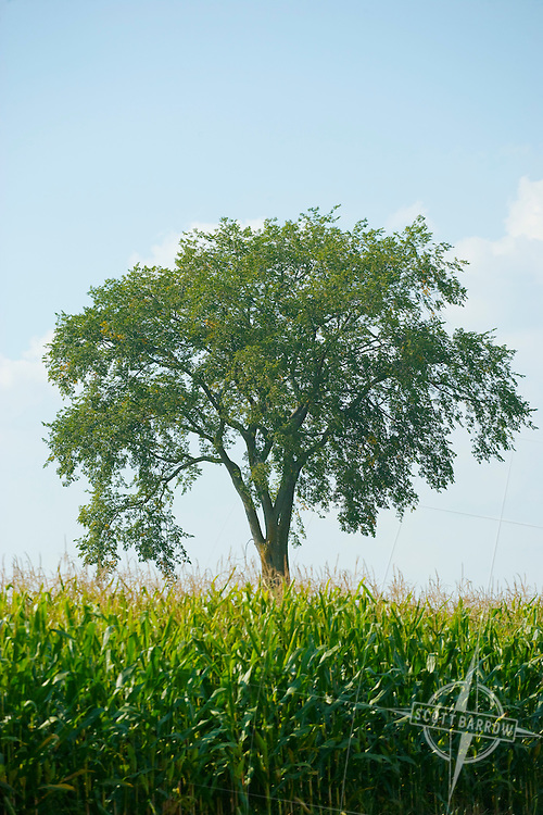 Elm tree in farm field