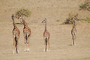Tanzania wildlife safari a herd of giraffes