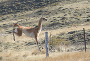 A Guanaco jumps over a fence in Torres del Paine National Park, Chile.