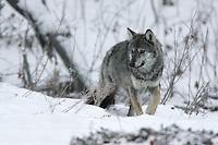 Wild Carpathian Wolf (Canis lupus) photographed in Bieszczady Mountains, the Carpathians; Carpathian Mountains; Bieszczady Mountains; Poland.