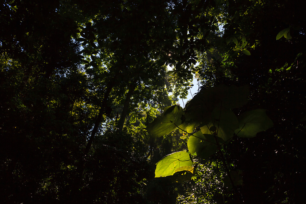 View up into canopy with sun rays shining through the leaves. Kaeng Krachan National Park. Thailand.