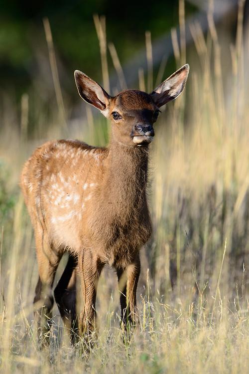 Summer Elk Calf (Cervus canadensis), Western North America