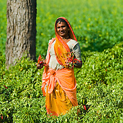 A Rajasthani farmer woman holds freshly picked chili peppers in her fields outside of Nimaj, Rajasthan.