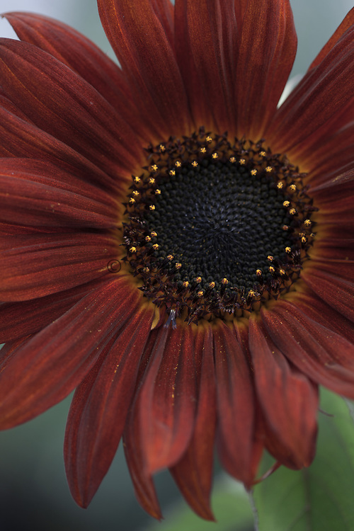 Helianthus annuus 'Red Sun' - sunflower