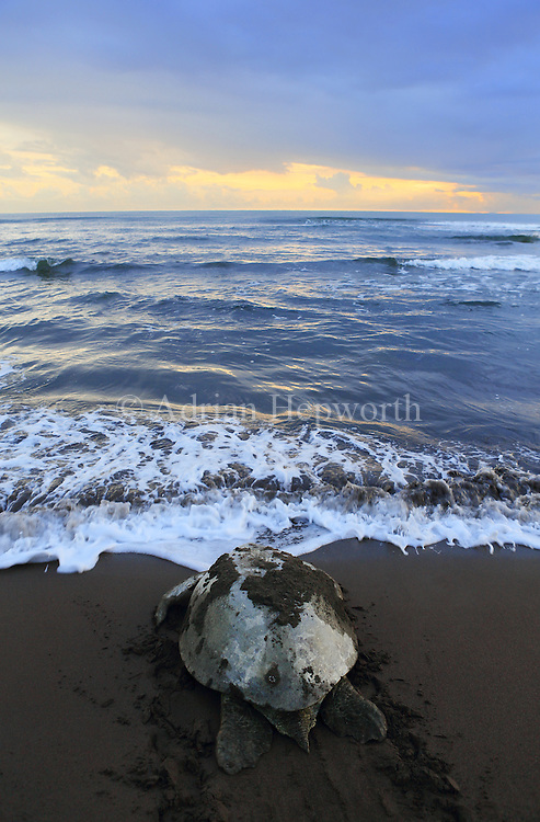 Female green turtle (Chelonia mydas) returning to ocean at sunrise after nesting on the beach in Tortuguero National Park, Costa Rica.