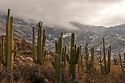 A winter storm drops snow as on the Santa Catalina Mountains, Coronado National Forest, Sonoran Desert, Catalina, Arizona, USA.