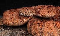 Speckled Rattlesnake, (Crotalus mitchellii pyrrhus),  San Diego County, captive