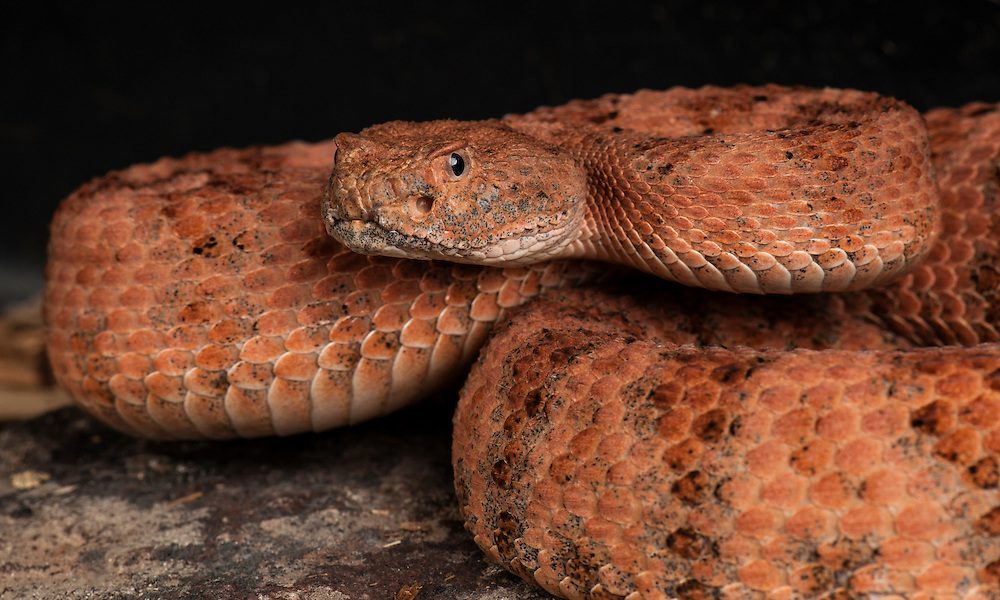 Speckled Rattlesnake, (Crotalus mitchellii pyrrhus),  San Diego County, captive