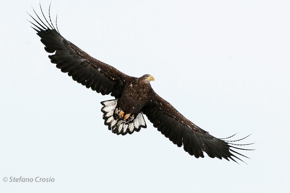 JAPAN, Eastern Hokkaido.Sub-adult white-tailed sea eagle (Haliaeetus albicilla) in flight