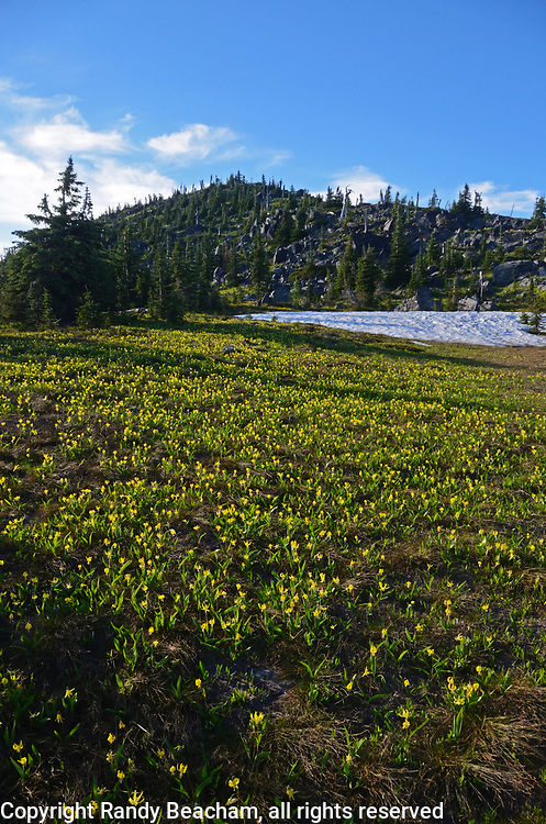 Glacier lilies blooming as the last snow drifts melt in summer in the Northwest Peak Scenic Area. Kootenai National Forest in the Purcell Mountains, northwest Montana.