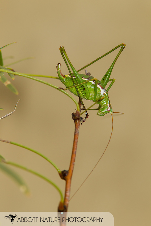 Common Short-wing Katydid (Dichopetala sp.)<br /> TEXAS: Starr Co.<br /> Falcon State Park<br /> 7-Nov-2014<br /> J.C. Abbott &amp; K.K. Abbott