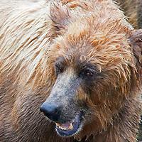 USA, Alaska, Katmai. Brown bear (grizzly) sow.