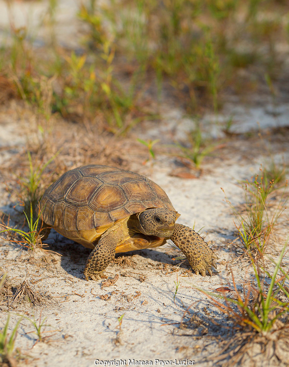 Young Gopher Tortoise, Gopherus polyphemus, central Florida, controlled