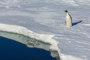 An Emperor Penguin (Aptenodytes forsteri) approaches the waters edge, Weddell Sea, Antarctica