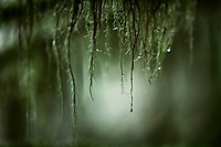 Artistic close-up of water droplets hanging from mossy tree branches in a surreal tranquil nature scenery in deep green colors at Vancouver Island, BC, Canada.