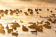 00748-05516 Canada Geese (Branta canadensis) flock on frozen lake,  Marion Co, IL