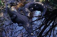 Vereinigte Staaten von Amerika, USA, Florida: amerikanischer Mississippi-Alligator (Alligator mississippiensis). Zwei Alligatoren rasten am Ufer im Schatten einiger Baeume. | United States of America, USA, Florida: American Alligator, Alligator mississippiensis, two Alligators resting in the shade of trees on a riverbank. |