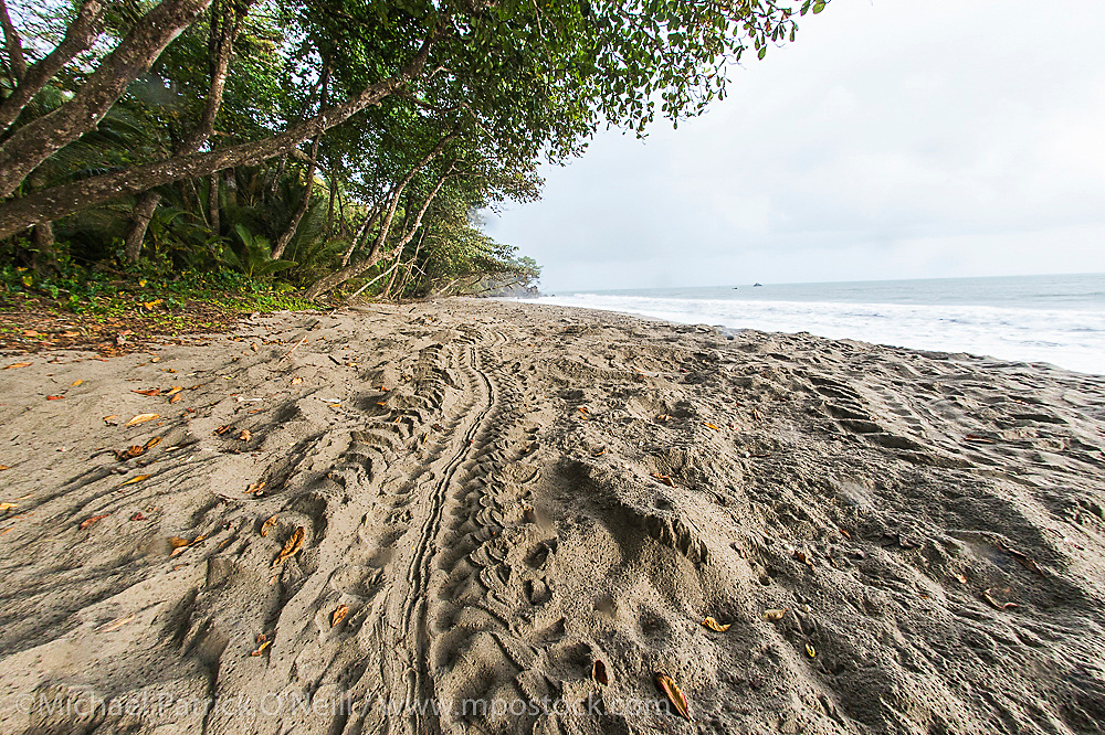Leatherback Sea Turtle, Dermochelys coriacea, tracks cover the beach in Grande Riviere, Trinidad. During the peak nesting season, roughly 300-400 female Leatherbacks come ashore every night to deposit their eggs.