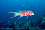 A Mexican Hogfish, Bodianus diplotaenia, swims along a deep reef in Wolf Island, Galapagos, Ecuador.