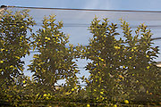 Apples behind screens on land south-west of Bolzano, northern Italy. Every tenth apple in Europe is grown in south Tyrol, making the region Europe's largest apple producer. The area produces 900,000 tons of apples per year on a fruit-growing area of 18,400 hectares.
