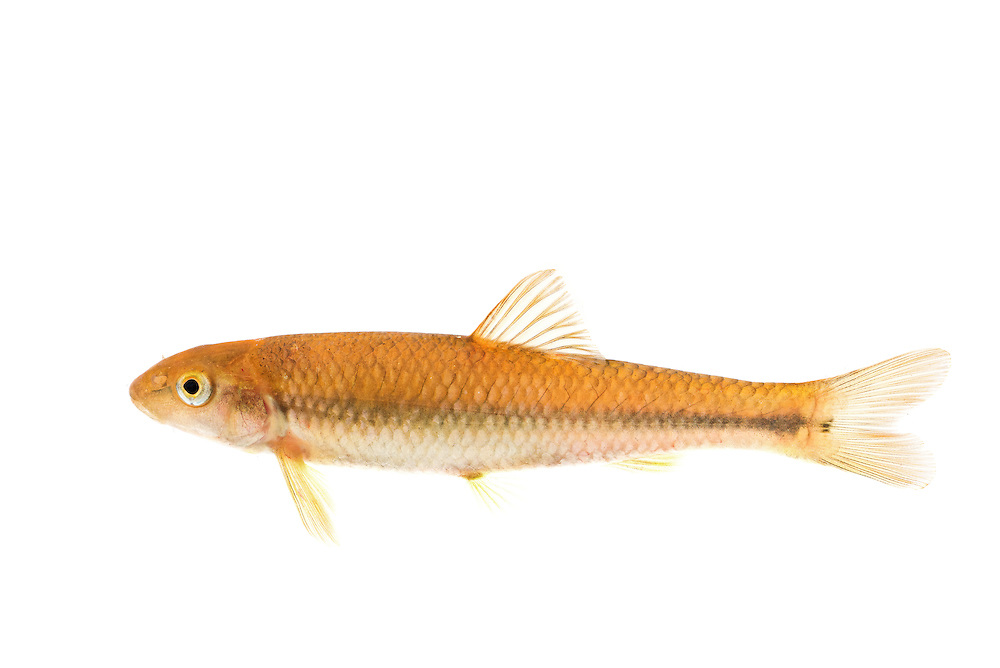 River Chub (Nocomis micropogon), Cullasaja River, Franklin, North Carolina